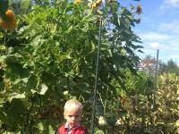 Levi met zonnebloem 3.10 meter hoog